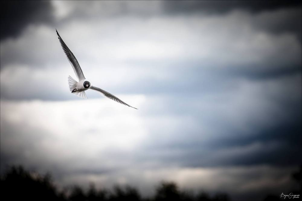 Franklins gull_Henrys Fork_idaho_bryan Gregson