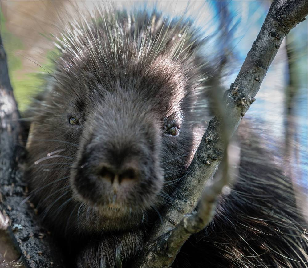 Porcupine_Kulik_Alaska_bryan Gregson