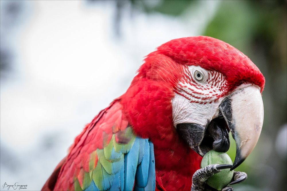 Red-Macaw_GP_8263