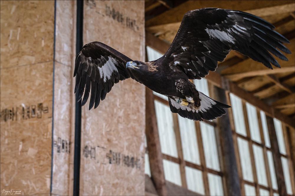 Montana-Raptor-Conservation-Center_Bryan-Gregson_GP_9091