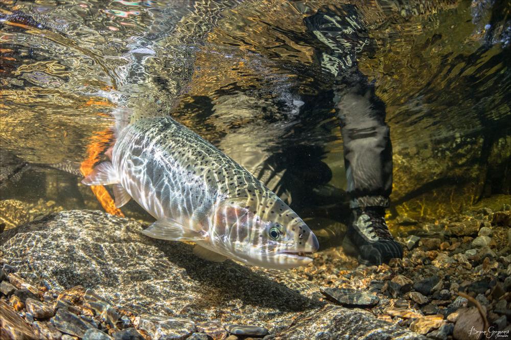 Chrome-Chaser-Lodge_Alaska_Steelhead_Bryan-Gregson-Photography_1