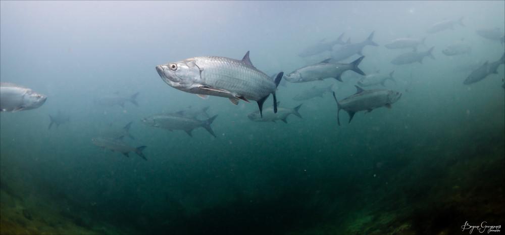 Underwater-Tarpon_1